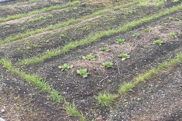 無農薬・無肥料を目指して「竹内さんの自然菜園」を参考にする
